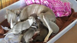 Italian Greyhound Pups CKC Registered and Health Guaranteed