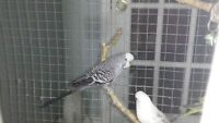 Two  Budgies for sale $20 each