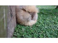 1 x pure lionhead bunny