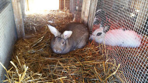 Flemish Giant/New Zealand cross buck for sale or trade