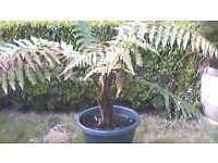 Tree ferns. Dicksonia squarrosa.