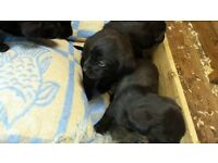 Labrador puppies. Female re available. Parents family pets can be seen.