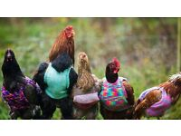 Wanted: chicken coop and run for rescue chickens