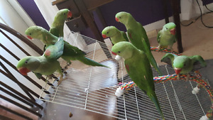Hand raised super friendly adorable ALEXANDRIAN PARROT BABIES