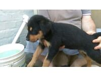 Puppies for sale Black Labrador / White German Shepherd (Only 3 remaining)