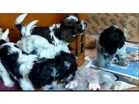 Blue roan cockapoo puppies