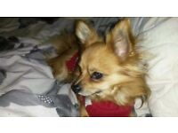 LOST DOG MALE CHIHUAHA MALE NAME TEDDY MICRO CHIPPED