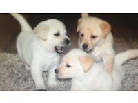 Stunning sheprador puppies