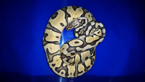 CANADA DAY BALL PYTHON SALE