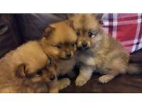 Miniature Pomeranian puppys