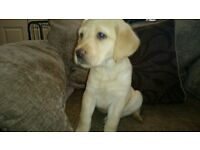 BEAUTIFUL LABRADOR PUPPIES - FOX RED AND YELLOW - MALE AND FEMALE