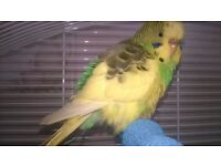 Hand Reared Budgie -Very Tame