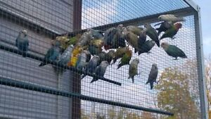 Whole bunch of breeder quality LOVE BIRDS (not tame)