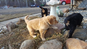 Purebred Hovawart puppies