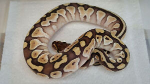 High quality Ball Pythons for re-homing