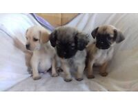3 handsome cavapoos x pugs for sale
