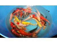 KOI Assorted colours 10-12 inches size £35 !!!!