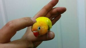 Baby lovebird/ bebe inseparable a vendre a $70
