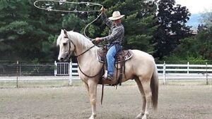 Morgan Palomino Gelding - 6 years old  and 15.2hh