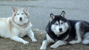 KLEO & TRYLORD  Reg. Siberian Husky Brawn-built Male for Sale