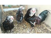 Russian orloff chickens for sale
