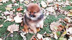 Beautiful Purebred Pomeranian Puppies