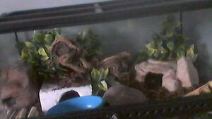 2 Female leopard geckos for sale!