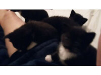 3 kittens for sale