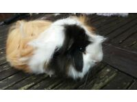Gorgeous Peruvian guinea pig for sale