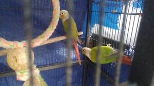 A Genuine Breeding Pair of Cinnamon Conures for Sale Ingleburn Campbelltown Area Preview
