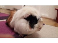 Two Male Guinea Pig pals to be re homed