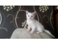 Gorgeous hand reared kittens for sale
