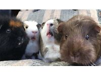 10 the american style guinee pig free to collector