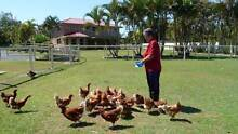 LAYING HENS FOR SALE - ISA BROWNS POINT OF LAYS Elimbah Caboolture Area Preview