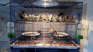 GOULDIAN FINCHES [Downsized Price]