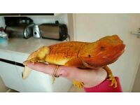 Hi morph hypo red tiger leatherback bearded dragon adult male