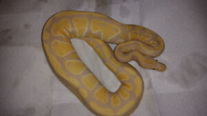 23 Ball Pythons for Sale - Reduced Pricing