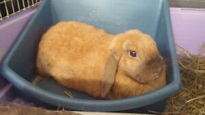 Female Holland Lop Bunny Rabbit Looking for Furever Home