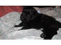 *3 week old *Pure Black *German Shepherd Puppy * Full Pedigree *