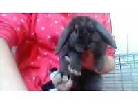 6 months old grey rabbit