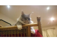 Maine coon kittens (re advertise due to time waster)