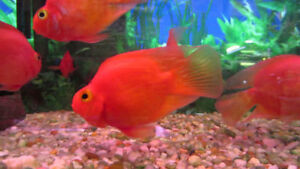 RED BLOOD PARROT FISH WEEKDAY SPECIAL BUY TWO GET ONE FREE