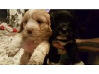 Cockerpoo first breed puppies