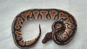 Ball Pythons available for rehoming