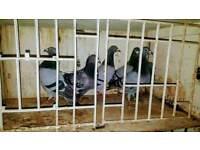 6 Pigeons
