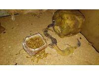Pair Female Leopard Geckos including full setup