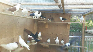 Beautiful Afghani kafter for sale,Shirazi pigeons all colours