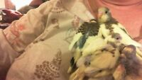baby budgies 4 weeks old(wont be ready for  7 weeks)