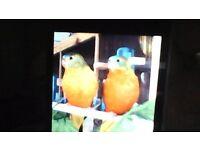pair of turquoisine