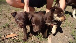 Kelpie pups  ,,Purebred  ( no papers ) Ipswich Ipswich City Preview